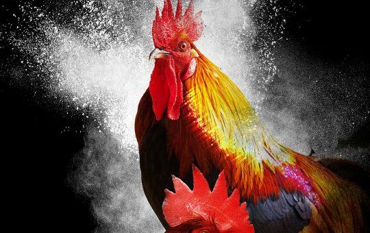 Tips Memilih Ayam di permainan Sabung Ayam online