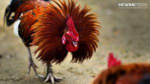 Tips Paling Joss Untuk membuat ayam Aduan Kuat dan Ganas