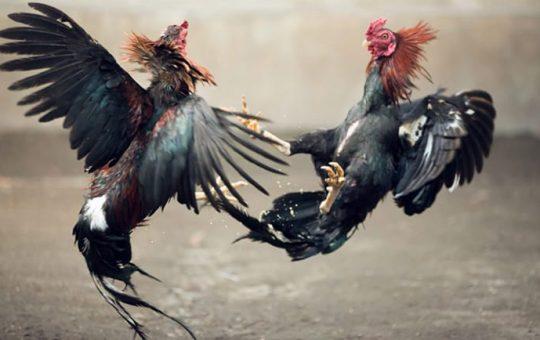 Tutorial Bermain Sabung Ayam Online